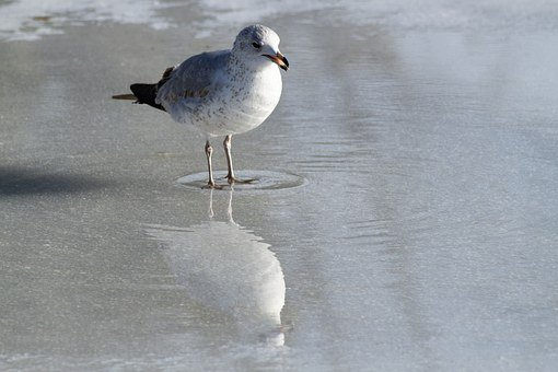 Seagull, Eating, Ice, Reflection, Closeup, Detail, Bird