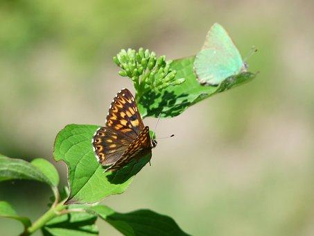 Duke Of Burgundy, Butterfly, Territoriality
