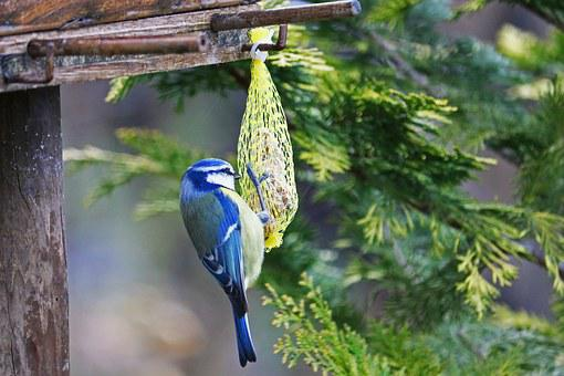 Blue Tit, Tit, Bird, Small Bird, Animal, Feather