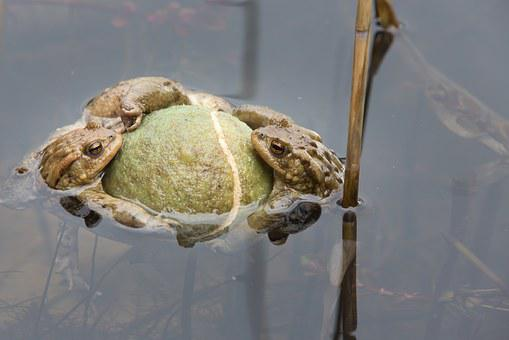 Toads In A Pond, Pond, Spring, Pairing, Toad Migration