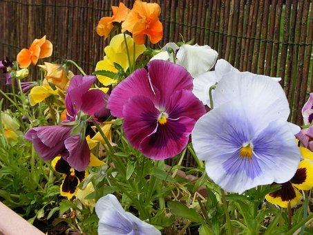 Pansy, Flower, Spring, Garden, Nature, Viola, Violet