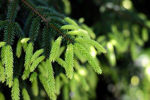 Fir Tree, Needles, Branch, Leaves, Conifer, Evergreen