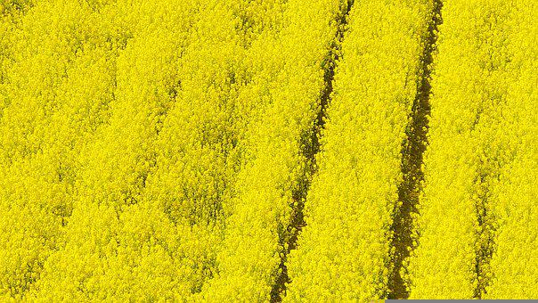 Rapeseed, Yellow Flowers, Field, Landscape, Nature
