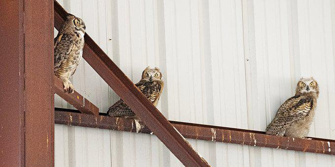 Great Horned Owls, Owls, Birds, Perched Birds, Raptors