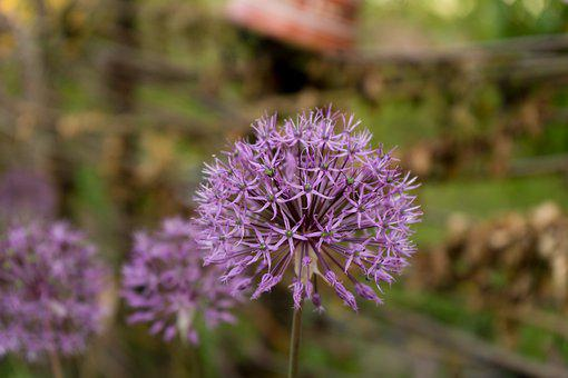 Flowers, Persian Onion, Purple Flowers, Star Of Persia