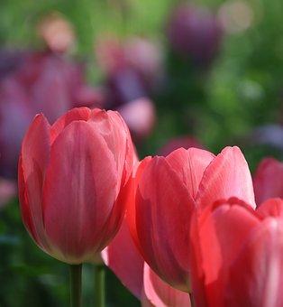 Tulips, Flowers, Pink Tulips, Pink Flowers, Petals