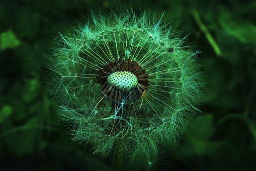 Dandelion, Wild Flowers, Seeds, Seed Head