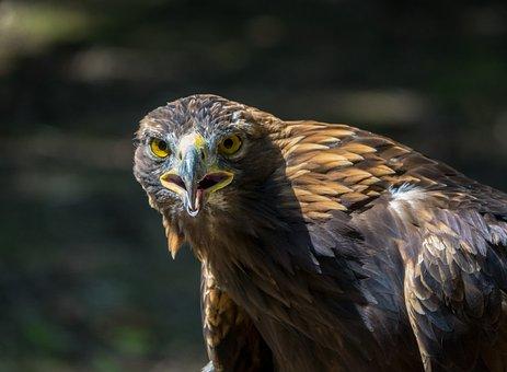 Eagle, Bird Of Prey, Raptor, Animal, Bird, Feathers