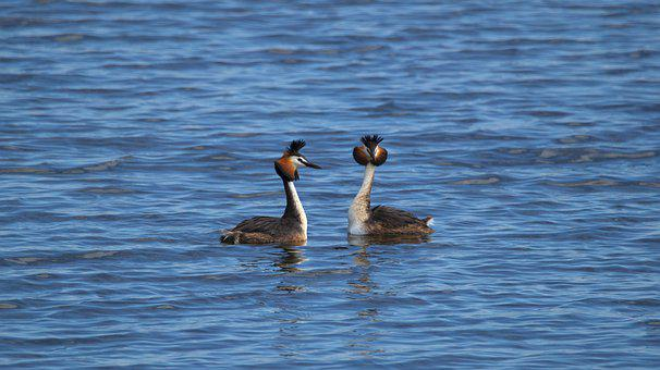 Great Crested Grebe, Bird, Lake, Pair, Aves, Avians
