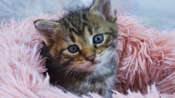 Cat, Kitten, Pet, Feline, Animal, Kitty, Eyes, Ears