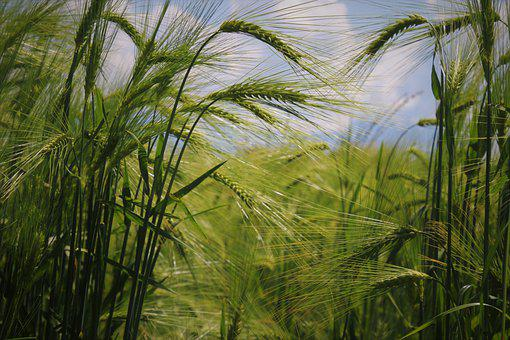 Wheat, Cereals, Field, Spikelets, Crop, Plants