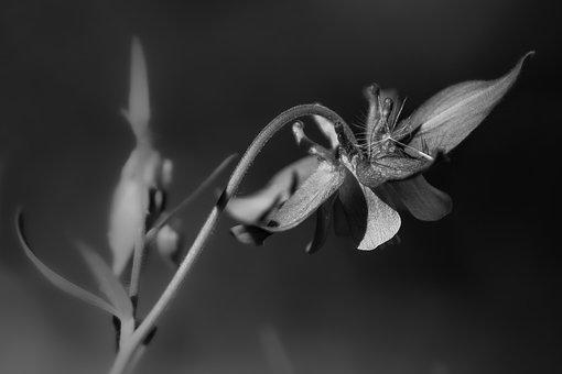 Columbine, Flower, Plant, Black And White, Dandelion
