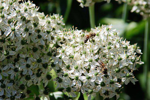 Bees, Insects, Flowers, Leek, Black Garlic, Allium
