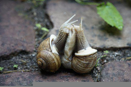 Snails, Animals, Mating, Pair, Reproduction
