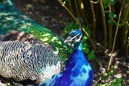Peacock, Bird, Feathers, Pattern, Design