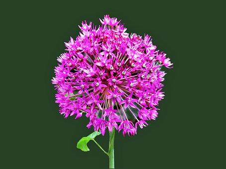 Flower, Persian Onion, Purple Flower, Star Of Persia