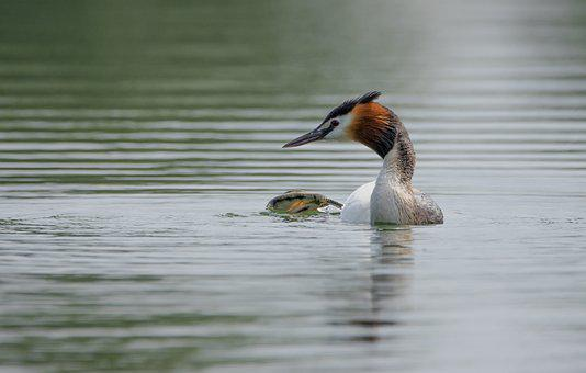 Great Crested Grebe, Lake, Fog, Light, Nature, Waters