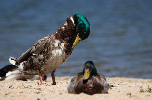 Mallards, Birds, Wild Ducks, Lake, Animals, Sand