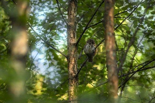 Owl, Bird, Perched, Plumage, Woods, Eurasian Pygmy Owl