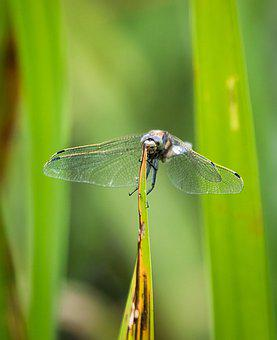 Dragonfly, Insect, Grass, Black-tailed Skimmer, Wings