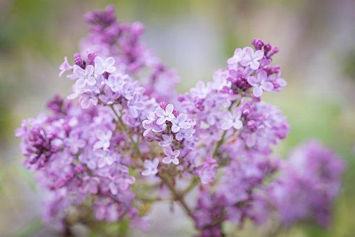 Lilac, Flowers, Plant, Purple Flowers, Petals, Bloom