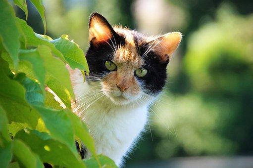 Cat, Pet, Feline, Tri-color, Spotted Cat, Animal, Beard