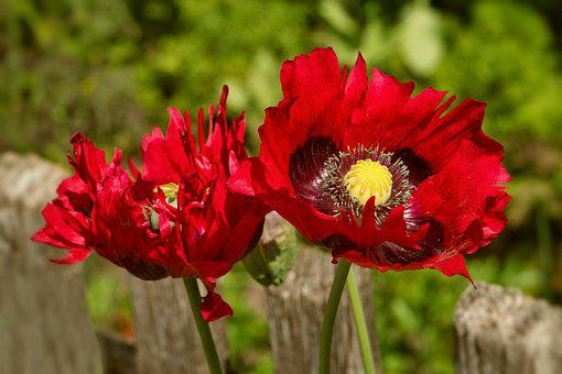 Poppy, Flowers, Plants, Red Poppy, Red Flowers, Petals