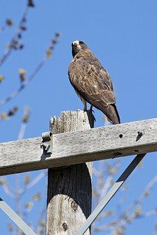 Swainson's Hawk, Hawk, Bird, Perched, Animal