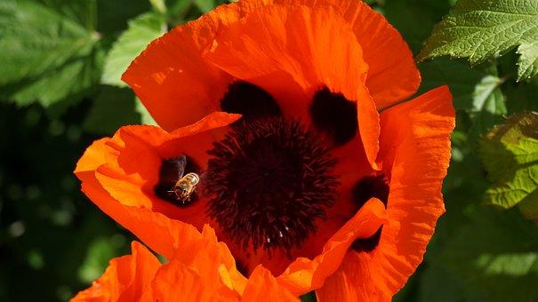 Poppy, Flower, Pistil, Klatschmohn, Blossom, Bloom