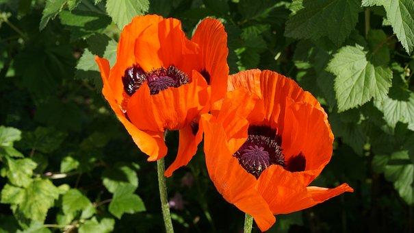 Poppies, Flowers, Pistils, Klatschmohn, Blossom, Bloom