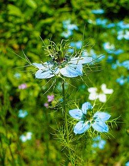 Love In A Mist, Flowers, Plant, Nigella, Blue Flowers