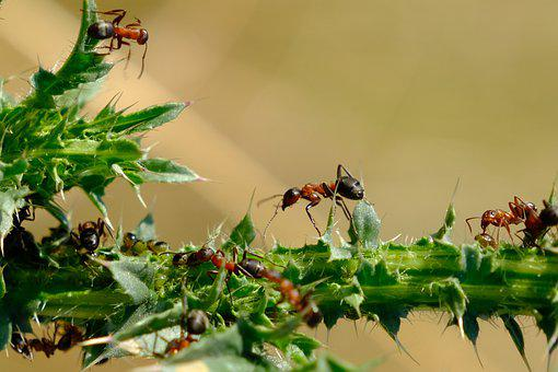 Ants, Insects, Nature, Plant, Leaves, Macro