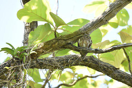 Owl, Bird, Branch, Perched, Barred Owlet, Animal