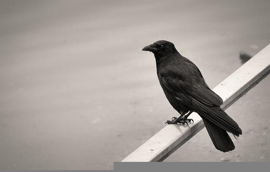 Carrion Crow, Bird, Animal, Perched