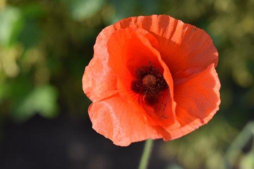 Poppy, Flower, Red Flower, Petals, Red Petals, Bloom