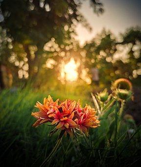 Dahlia, Flower, Sunset, Sunlight, Plant, Petals, Bloom
