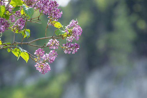 Lilac, Flowers, Branch, Pink Flowers, Bloom, Leaves