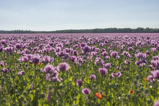 Poppies, Flowers, Garden, Purple Poppies