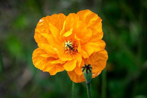 Poppy, Flower, Plant, Papaver Dubium, Orange Poppy