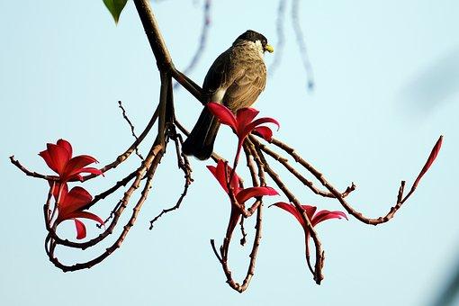 Sootyheaded Bulbul, Bird, Branch