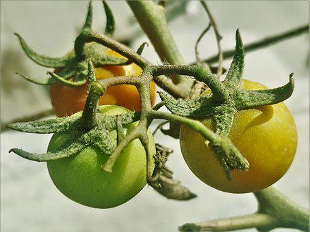 Tomatoes, Fruit, Plant, Vegetable