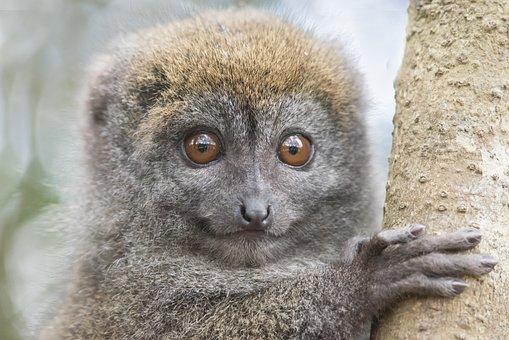 Lemur, Animal, Wildlife, Mammal, Primate, Head, Nature