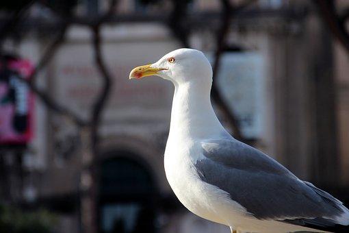 Seagull, Bird, Beak, Feathers, Bill, Ave