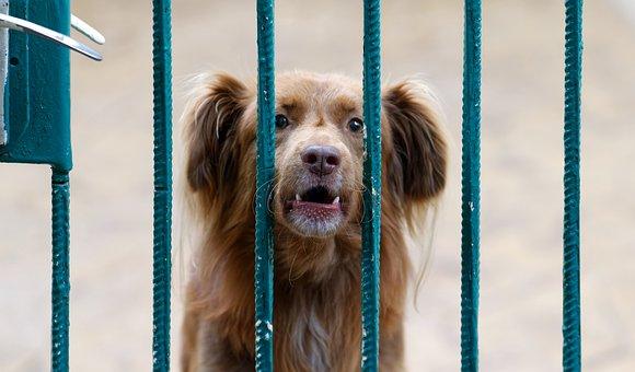 Dog, Pet, Gate, Barking, Animal, Domestic Dog, Canine