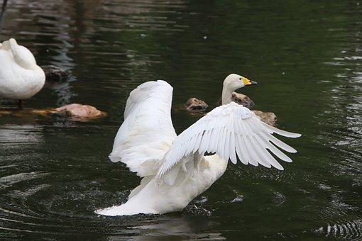 Swan, Bird, Lake, Flapping, White Swan, Anatidae