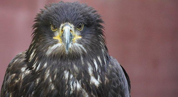 Bird, Adler, Raptor, Bird Of Prey, Bill, Plumage