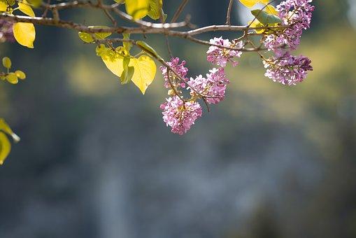 Lilac, Flowers, Branch, Plant, Purple Flowers, Bloom