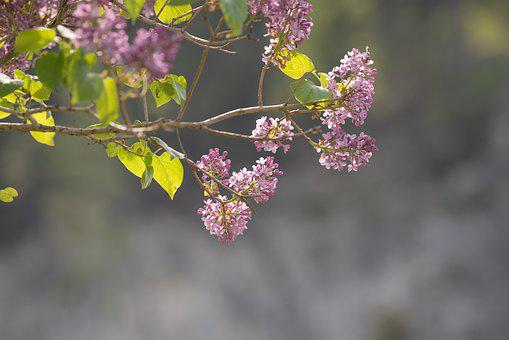 Lilac, Flowers, Branch, Plant, Bloom, Leaves, Spring