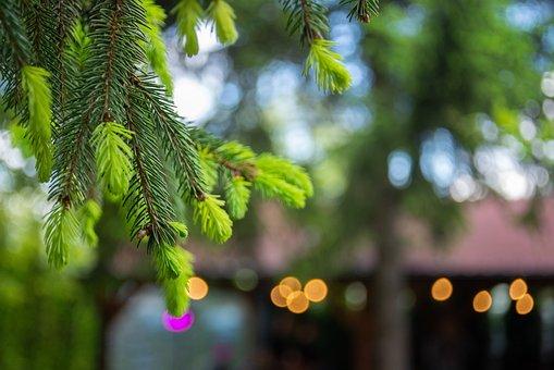 Pine, Branch, Tree, Needles, Leaves, Conifer, Evergreen