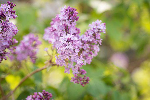Lilac, Flowers, Branch, Plant, Petals, Bloom, Spring